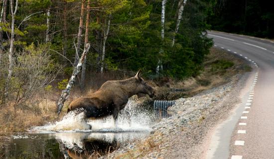 1_moose